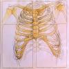 Skeleton after reorganicing my body organs.